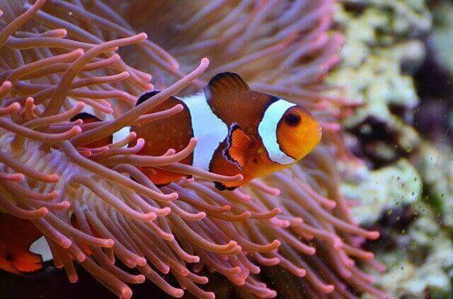 aqaurium with anemone fish